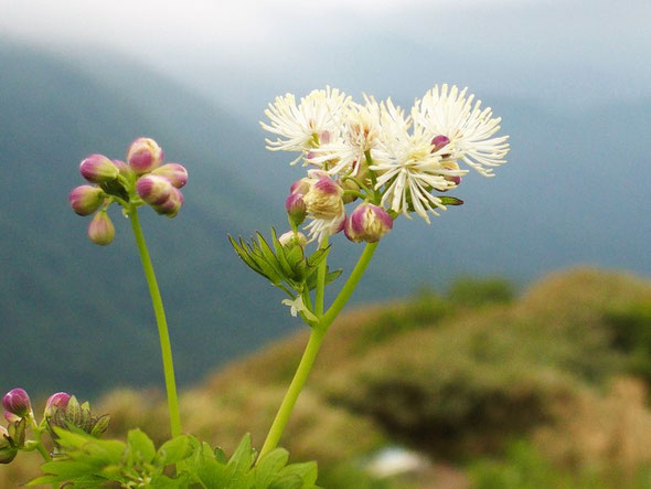カラマツソウ・・・この花も変化していくそのさまが魅力です。