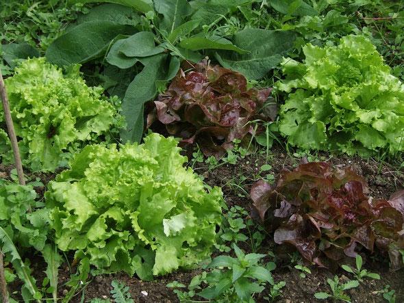 Un joli contraste dans les salades