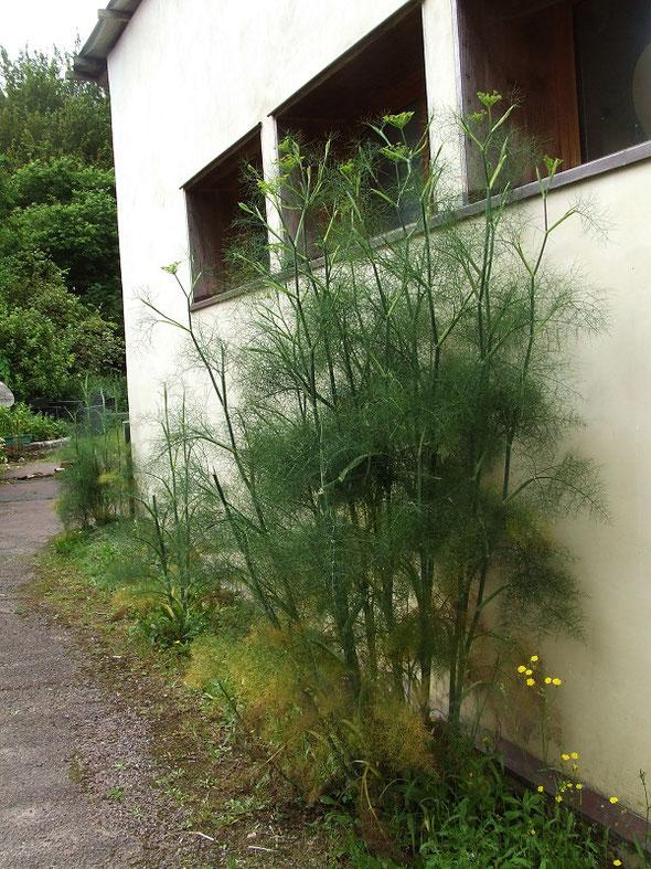 Un fenouil à l'entrée du jardin qui abrite quelques chenilles.
