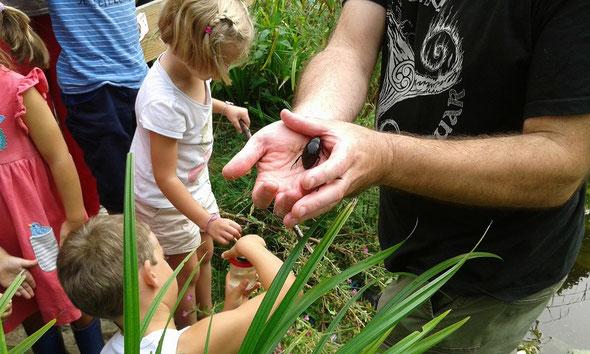 Visite du jardin qui se termine par une découverte des petites bêtes de la mare. Ici un gros hydrophile brun qui a été pêché.