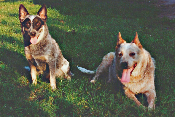 Two pet Australian Cattle Dogs - Sophie and Duchess