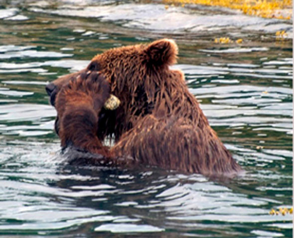 March 5, 2012 - On July 2010, a brown bear had an itch. To scratch it, he picked up a barnacle-covered rock and rubbed it over his muzzle.
