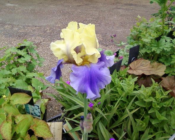 "Iris germanica ""Edith WOLFORD"""