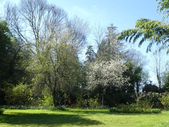 Le quetschier en fleurs le 13 avril 2021