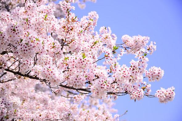 写真素材 フォトライブラリー「大当たり」さんの桜の写真です♪
