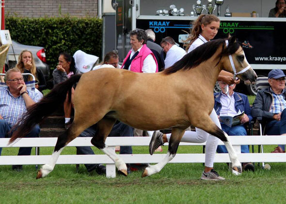 Oostdijk's Ceridwen Maybelline, ster, 2015 (Kastanjehof Amico x Oostdijk's Ceridwen Memory, keur) enorm trots op deze topper!  Maybelline became a 'Star' mare at the National Show 2018!