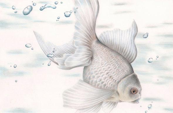 「白い金魚」 183×284mm