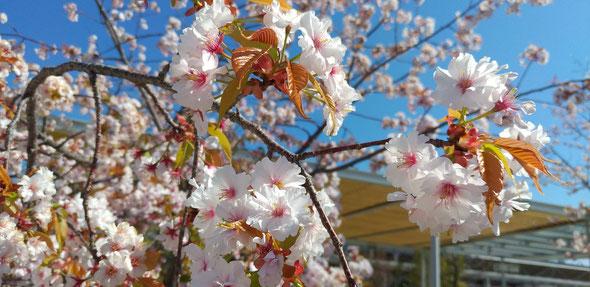桜。。。(これは高校ではなく駅の小郡桜)
