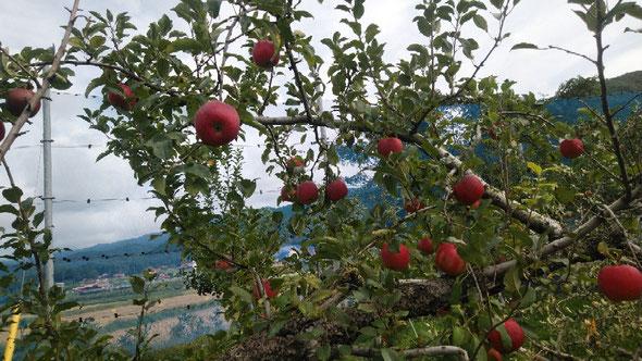 今日はりんご狩に行きました。