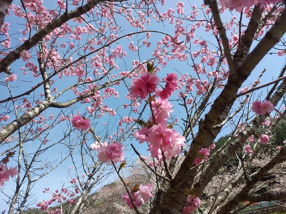 これも桜?水曜日のだけど