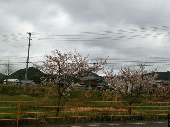 桜散りかけ。