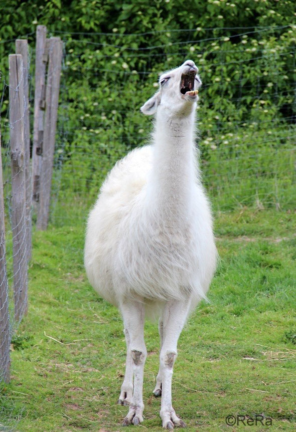 Lama, gähnen, weiß, Pracht Lamas