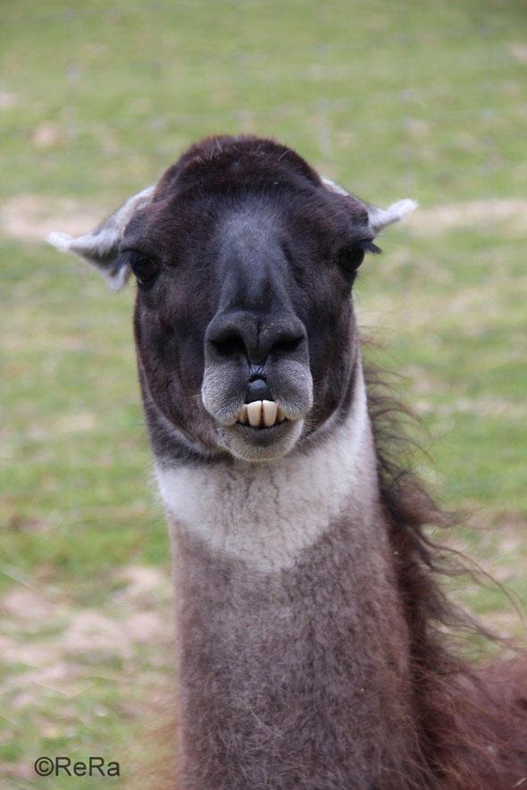 Lama, Pracht Lamas