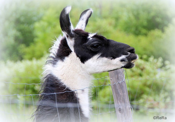 Lama, Diego, Pracht Lamas