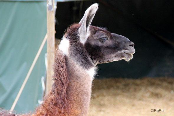 Lama, Hannibal, cool, Pracht Lamas