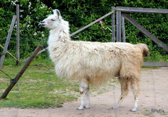 Lama, weiß, Dancer, Pracht Lamas