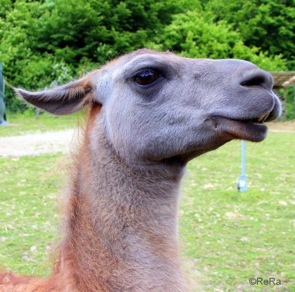 Lama, Caruso, selbstbewusst, Pracht Lamas