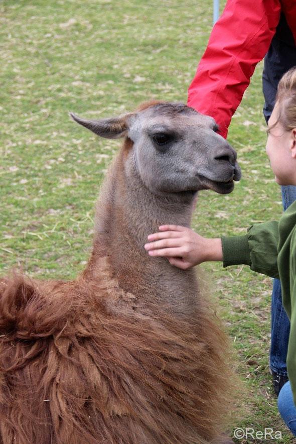 Lama, streicheln, Caruso, Pracht Lamas