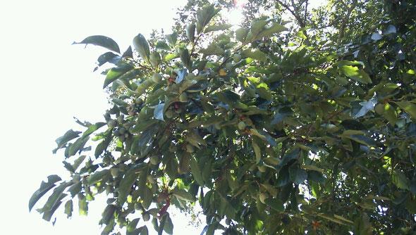 柿の実が青くなっています