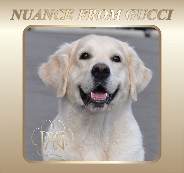 Nuance from Gucci - golden retriever