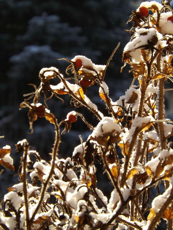 Sonnenschein im Schnee Rosenhecke