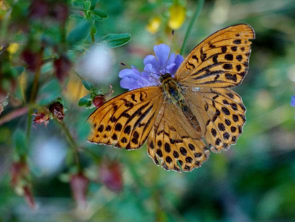 Kaiserfalter auf einer blauen Blume die Nadelkissen heißt