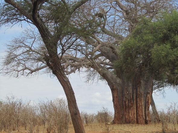 Flinke baobab.... met aan de voet een luie (niet-boomklimmende) leeuw. Zie hieronder voor ingezoomde versie...