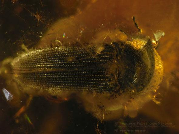Инклюзы в янтаре: Coleoptera, Elateridae