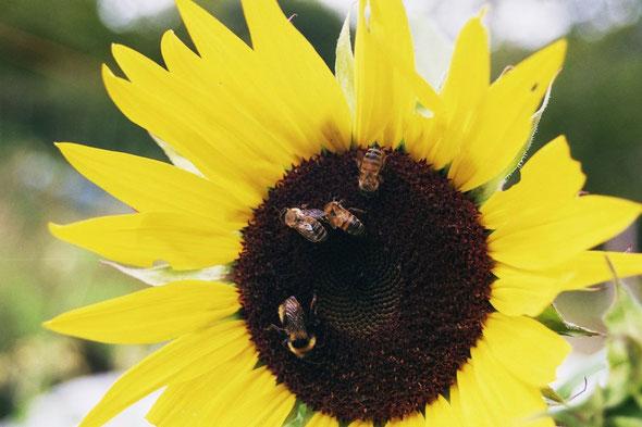 Sonnenblume mit Hummeln und Bienen