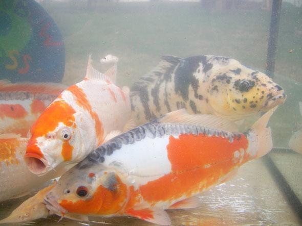 Nat rlich aufgewachsene fische rainbowkoifarmfloss for Fische naturteich