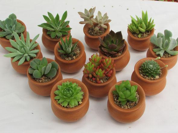 Cactus matrimonio evento vivero nacimiento cactus y for Suculentas santiago