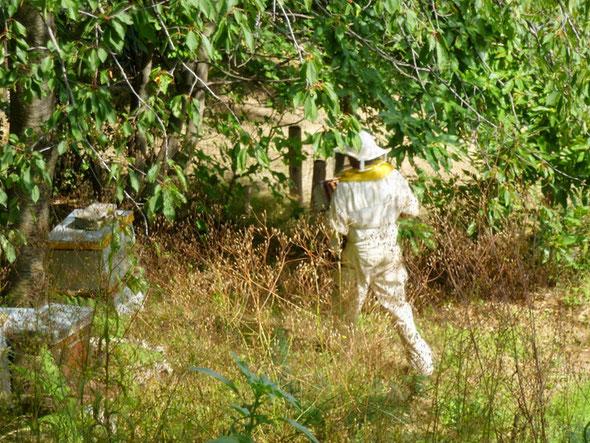 Bastien apiculteur en Cevennes recolte son miel