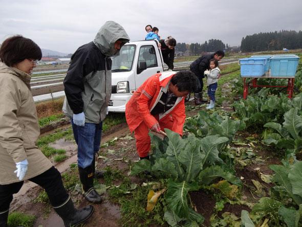 カリフラワー収穫体験