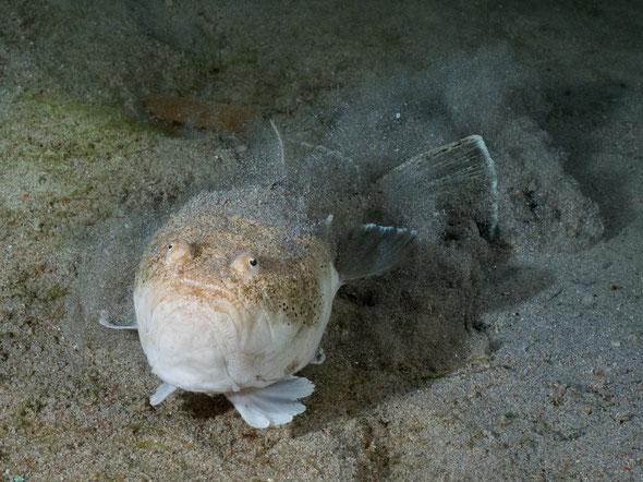 L'uranoscope (uranoscopus scaber) se cache dans le sable (en haut)... et ne se déplace que s'il est dérangé!