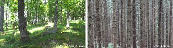 Abb. 3: Ein Wald als Lebensraum vieler Arten (links) und ein monotoner Fichtenforst, in dem kaum etwas lebt (rechts).