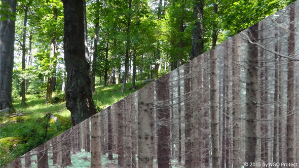 Abb. 2: Nach der Abholzung artenreicher Wälder werden auf den Standorten forstliche Monokulturen hergestellt.