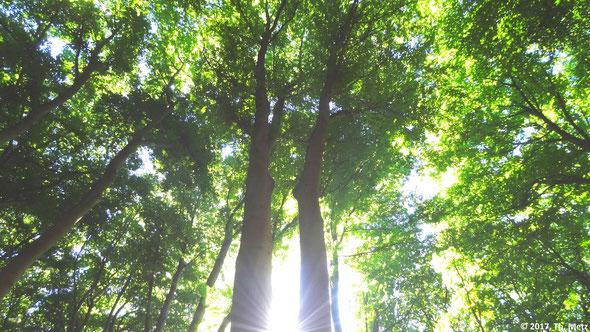 Abb. 2: Die Bäume des Buschbeller Waldes formen eine Kathedrale der Natur.