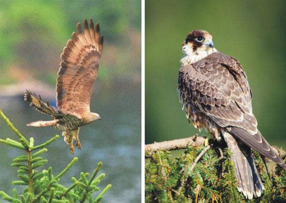 Wespenbussard am Kraubatheck (links) und Wanderfalke am Hennerkogel (rechts) sind zwei der besonders durch Windkraftanlagen gefährdeten Vogelarten (Fotos aus Studie von Kranz 2014).