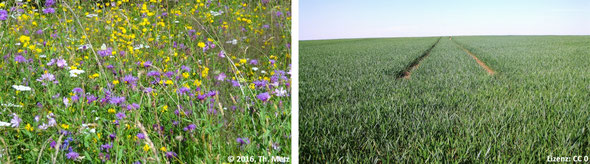 Abb. 5: Eine Wiese mit hoher Artenvielfalt (links) und eine monotone Ackerfläche mit geringstem Wert zur Erhaltung der Vielfalt des Lebens (rechts).