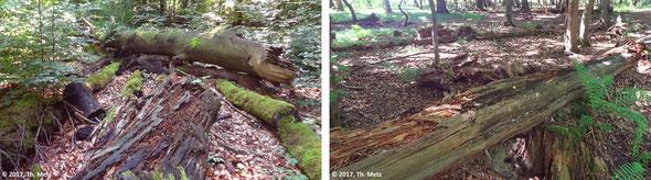 Abb. 3: Totholz ist voller Leben: an, in und vom Totholz leben Moose, Pilze, Spinnen, Käfer, Hautflügler, Vögel, Fledermäuse, Amphibien etc. So beherbergen in Mitteleuropa z.B. Buchen rund 240 und Eichen 650 Käferarten.