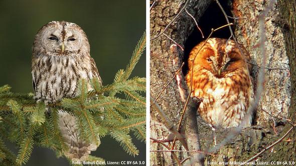 Abb. 6: Waldkauz (Strix aluco) als graue und rote Morphe [13].
