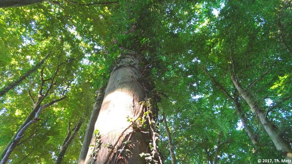 Abb. 1: Alte Buchen, Eichen und Hainbuchen prägen den Buschbeller Wald.