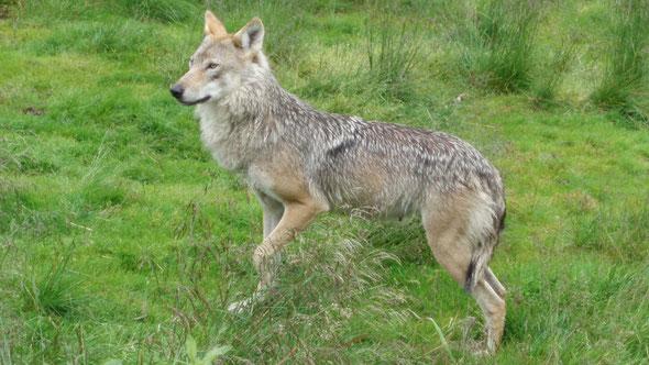 Wolf (Canis lupus), Foto: Hans-Petter Fjeld, Lizenz: CC BY-SA 2.5/3.0