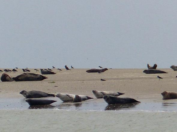 Le Crotoy  visite guidée  pour voir les  phoques  . La preuve  par l'image . Ils étaient bien là.