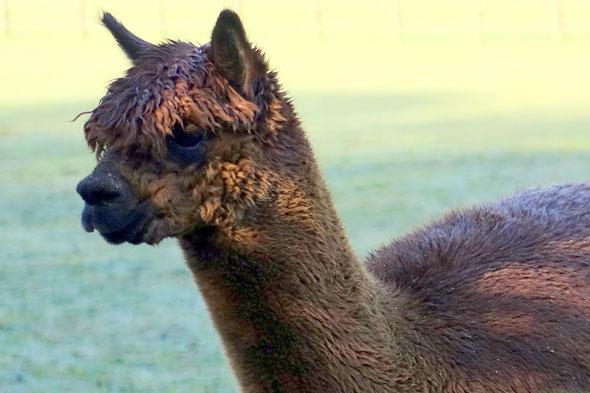 Plus besoin de faire la cordillière des Andes pour voir des lamas, nous avons ce qu'il faut à deux pas de chez nous!!!!!!!!!!