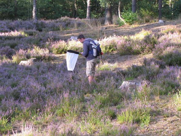 Notre animateur du Conservation Naturel de  Picardie  a  la recherche des  habitants de la lande à  CALLUNES.
