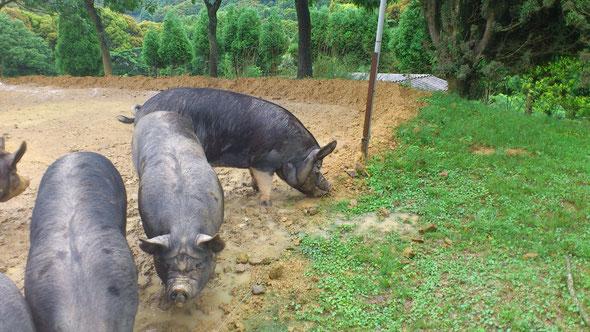 鹿児島放牧黒豚