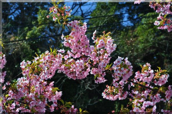 安芸ドーム 河津桜