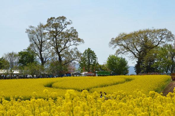 飯山 菜の花公園