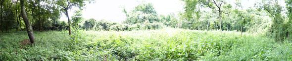 夏草茂る昨年の伐採地